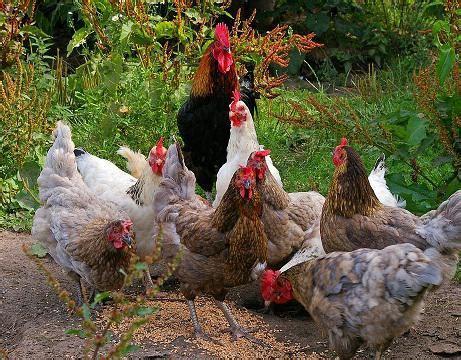 Bibit Ayam Ras Siap Telur 8 langkah mudah beternak ayam kung yang menjanjikan