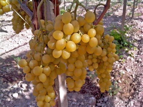 uva da tavola italia uva italia op fruttapi 249