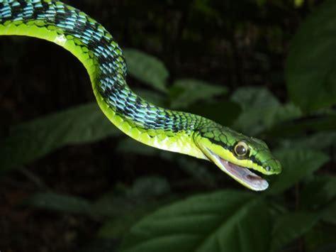 serpente volante serpente volante il regno della natura