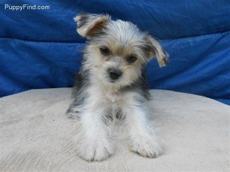 puppie find so morkie for the of morkies