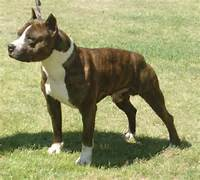 American Staffordshire Terrier Dog Breed Pictures 2