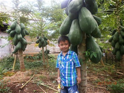 Bibit Lele Sangkuriang Garut peluang usaha cara menanam anggur diarea sempit dalam pot