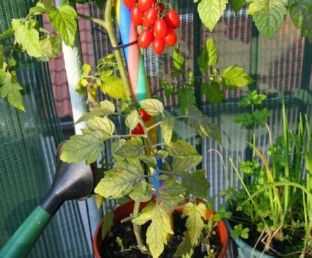 pomodorini in vaso i pomodorini ciliegino in vaso come coltivarli quando