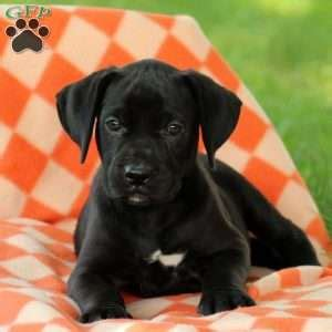 german sheprador puppies german sheprador puppies for sale greenfield puppies