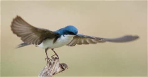 competitors bluebirdnut