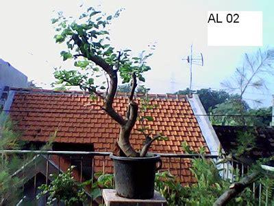 Jual Bakalan Bonsai Malang jual bakalan bonsai