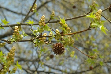 sweet gum trees and their spiky seed balls