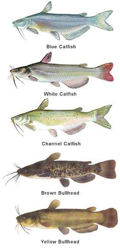Search Catfish 1000 Images About Fish Catfish On Blue Catfish Not And Cats