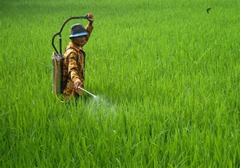cara membuat zpt organik untuk tanaman padi cara menanam padi yang baik dan benar