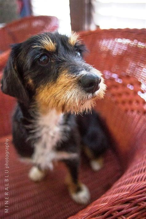 tri color dachshund houston tx cornelius is a tricolor wire haired