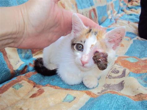 imagenes de gatitos blancas tiernas adopcions cadells el blog de tot gossos
