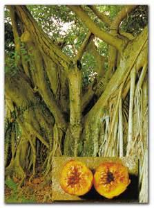 Delightful Fig Tree #4: Figtree_borneo.jpg