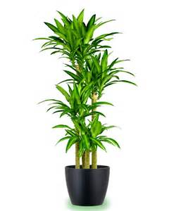 indoor potted plants large potted corn plant indoor gardening pinterest