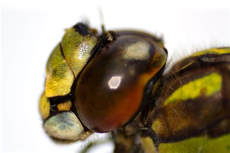 free detailed macro images and stock photos freeimages free dragonfly macro 2 stock photo freeimages