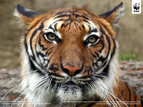 Indochinese Tiger Panthera Tigris Corbetti Is Only Found ...