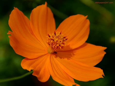 flower pic flowers wallpapers orange flowers wallpapers