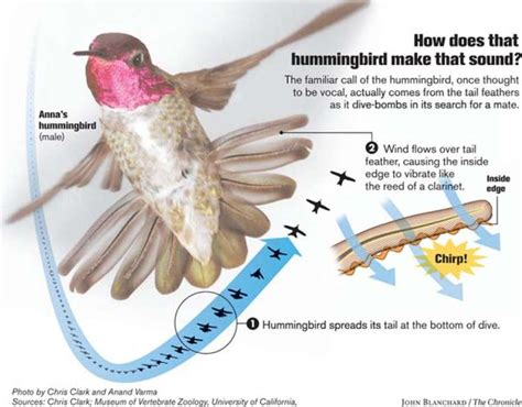 how hummingbirds chirp it s all in the tail sfgate