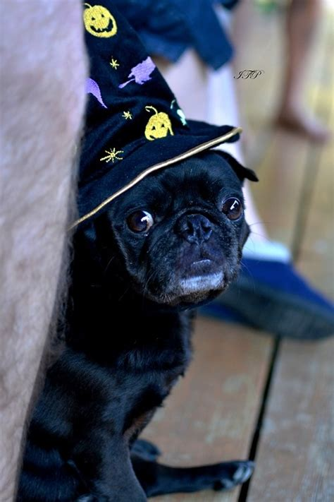 blk thndr pugs 17 best images about animals on cats costumes and