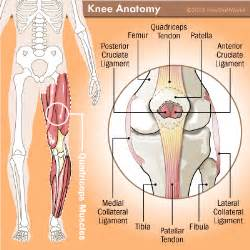Anatomy of the knee muscles group picture image by tag