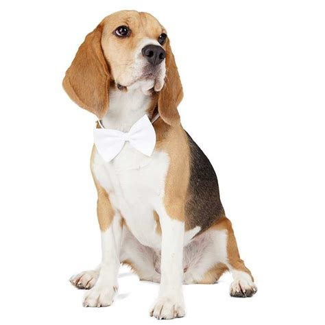 beagles beagles pet insurance breed info