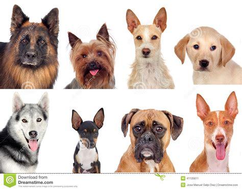 different races of dogs collage de la foto de diversas razas de perros foto de