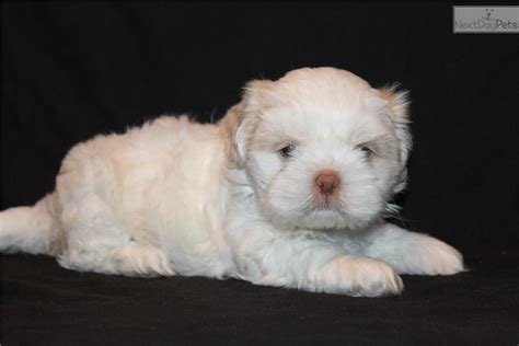 all white shih tzu black shih tzu puppy pictures all puppies pictures and wallpapers breeds picture