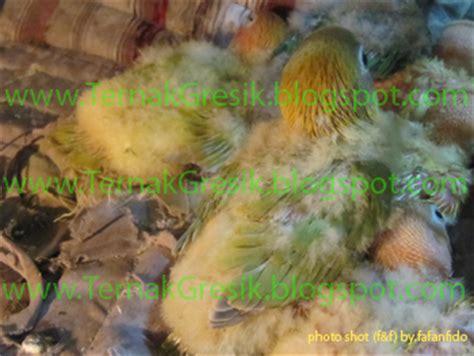Jual Pakan Burung Mojokerto cara ternak cara penangkaran cara beternak jual piyik