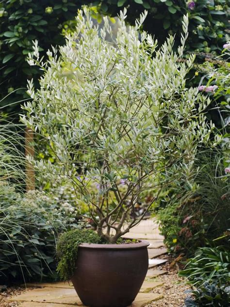 Potted Trees by Olive Tree Care Grow An Olive Tree Indoors Hgtv