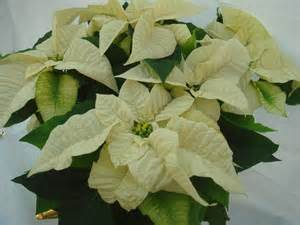 white poinsettia traditional poinsettias