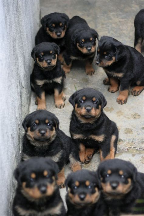 baby rottweiler pictures 25 best ideas about rottweilers on rottweiler puppies baby rottweiler