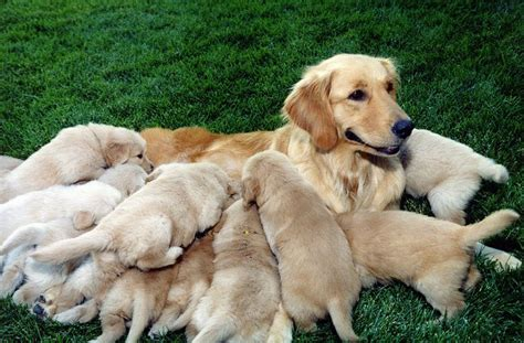 puppies nursing golden retriever puppies nursing