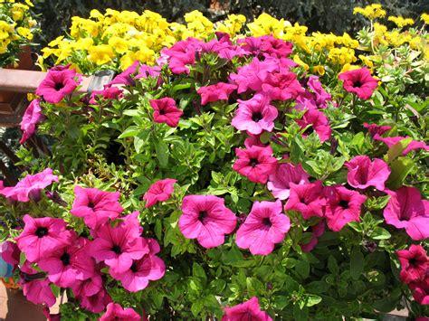 surfinia fiore surfinia in fiore ad aprile 2011 dall album di barbara69