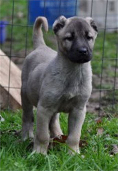 kangal puppies for sale turkish kangals born guardians
