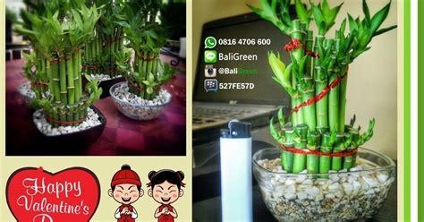 Jual Lu Hias Unik putra garden promo bambu hoki lucky bamboo untuk hadiah dan souvenir imlek
