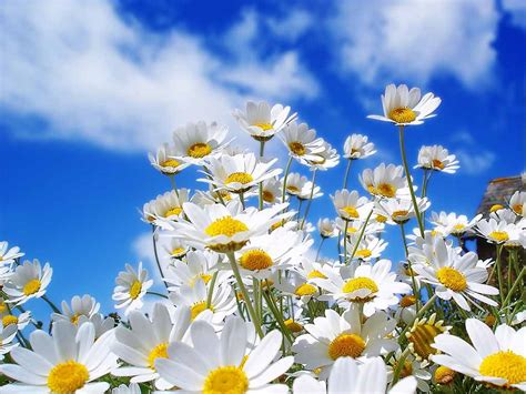wallpaper flower scenery beautiful flower nature scenery wallpapers daisy and