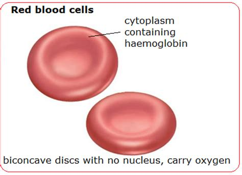 blood cells diagram 74 blood cells structure and functions biology notes