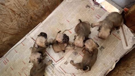 perro pug mini venta de perros pug cachorros 2 800 00 en mercado libre