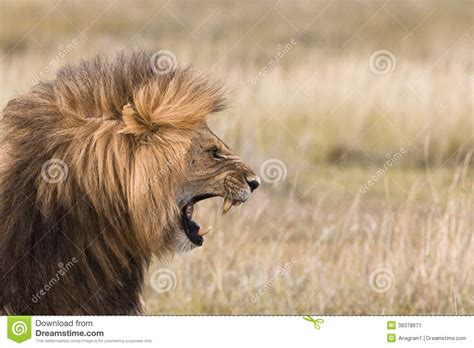 roaring male lion stock image image of male image