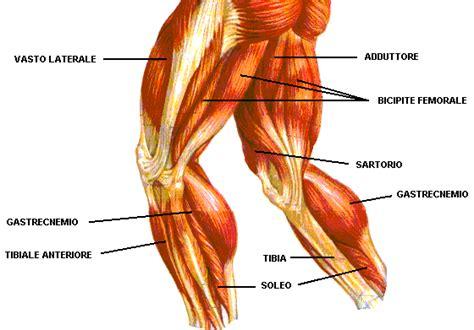 muscoli coscia interna smbodybuilding gambe
