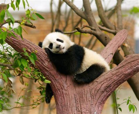 libro oso panda oso panda 8 curiosidades acerca de los osos panda que te sacar 225 n m 225 s de una sonrisa imujer