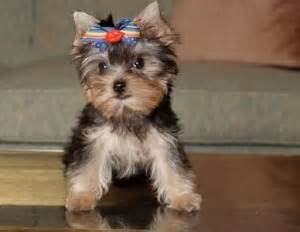 yorkie breeders in mississippi 301 moved permanently