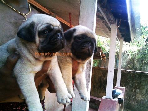 pug price in kerala pug puppies available for sale at kochi kerala