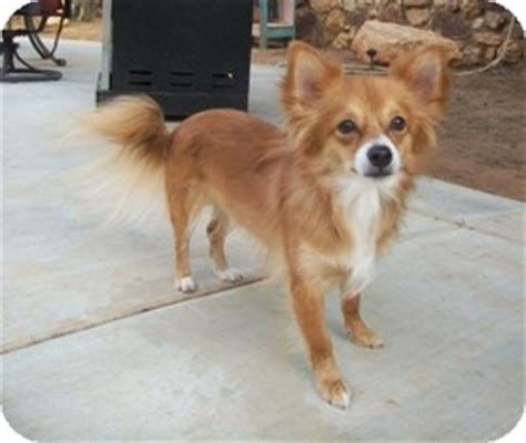 pomeranian mixed with papillon facts about papillon breeds picture