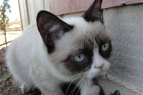 grumpy cat grumpy cat jan 09 2013 17 13 35 picture gallery