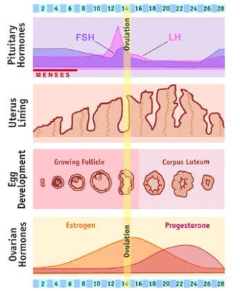 test prima ciclo anatomia fisiologica femminile 2