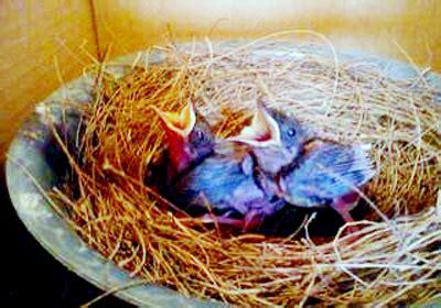 Inkubator Burung waktu ideal untuk menyapih dan meloloh anakan murai batu