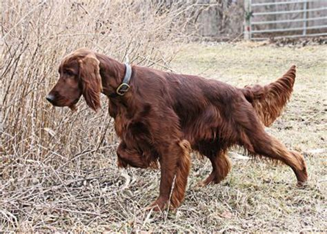 red setter gun dog the irish setter is a handsome breed that can be used as