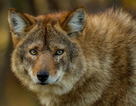 coyote hybrid coywolf coyote wolf strange hybrid animals pictures pics express co uk