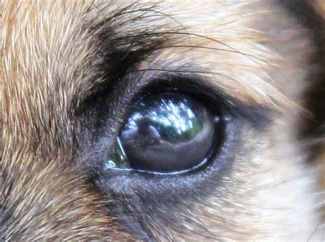 dogs eye is drawing simple www imgkid the image kid has it