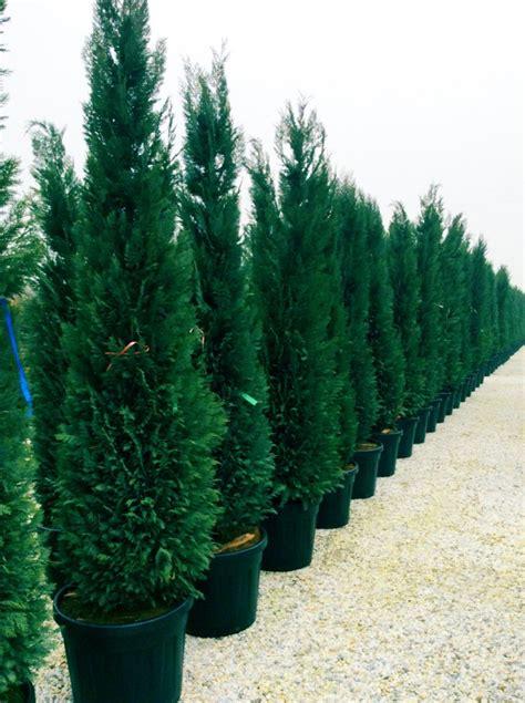 Scheinzypresse Pflege by Blaue Scheinzypresse Chamaecyparis Lawsoniana Column